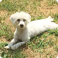 Poodle (Miniature) Dog for adoption in Rochester, New York - Sofie