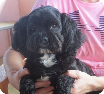 Lhasa Apso/Poodle (Miniature) Mix Dog for adoption in Salem, New Hampshire - Curly Joe