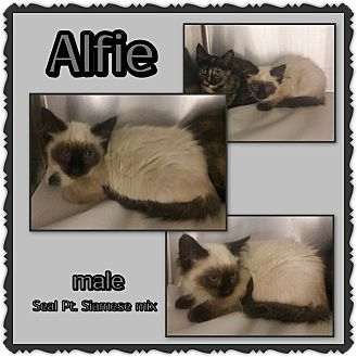 Siamese Kitten for adoption in Richmond, California - Alfie