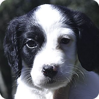 English Setter Puppy for adoption in New Braunfels, Texas - Hope