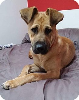 Shepherd (Unknown Type)/Labrador Retriever Mix Dog for adoption in Winnipeg, Manitoba - Olivia