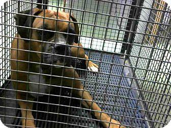 Boxer Mix Dog for adoption in San Bernardino, California - URGENT 12/3 @ DEVORE