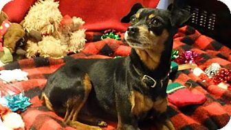 Miniature Pinscher Dog for adoption in Vacaville, California - Bugsey