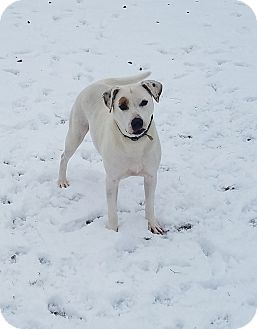 American Staffordshire Terrier Mix Puppy for adoption in Lima, Ohio - Aspen