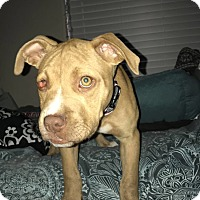 Adopt A Pet :: Nivea - Las Vegas, NV