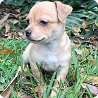 Adopt A Pet :: Raffia - Weston, FL