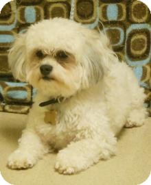 Bichon Frise/Shih Tzu Mix Dog for adoption in Gary, Indiana - Augie