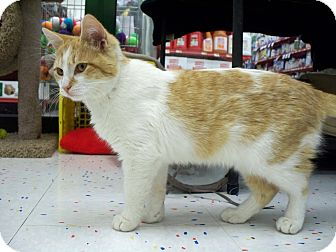 Domestic Shorthair Kitten for adoption in Fountain Hills, Arizona - TOULOUSE