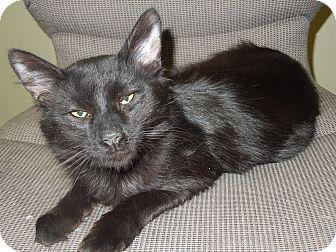 Domestic Mediumhair Cat for adoption in Medina, Ohio - Ceelo