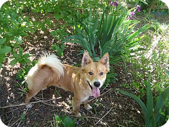 Shiba Inu/Spitz (Unknown Type, Medium) Mix Dog for adoption in Manassas, Virginia - Mari