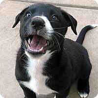 Adopt A Pet :: Baby Cheddar - Oakley, CA