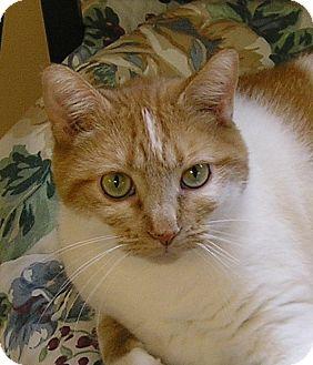 Domestic Shorthair Cat for adoption in Glenwood, Minnesota - Star