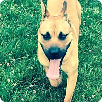 Pit Bull Terrier/Shepherd (Unknown Type) Mix Dog for adoption in Cincinnati, Ohio - Howie