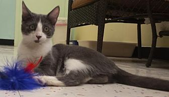 Domestic Shorthair Cat for adoption in Morgan Hill, California - Henry