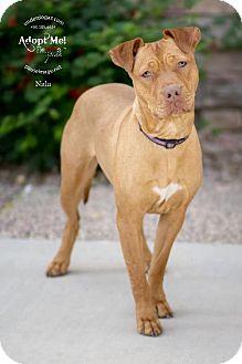 Shar Pei/Staffordshire Bull Terrier Mix Dog for adoption in Chandler, Arizona - NALA