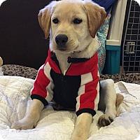 Adopt A Pet :: Otis - Buena Park, CA