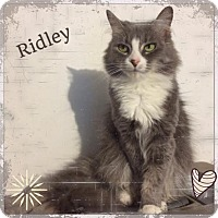 Adopt A Pet :: Ridley - Harrisburg, NC