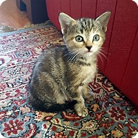 Domestic Shorthair Kitten for adoption in Mississauga, Ontario, Ontario - Celandine