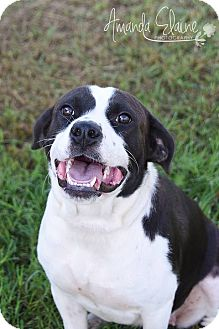 Labrador Retriever/American Staffordshire Terrier Mix Dog for adoption in Pilot Point, Texas - TARA