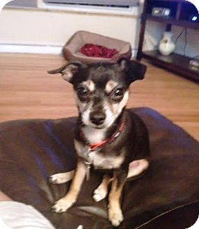 Chihuahua Mix Dog for adoption in Westminster, Colorado - Paxton