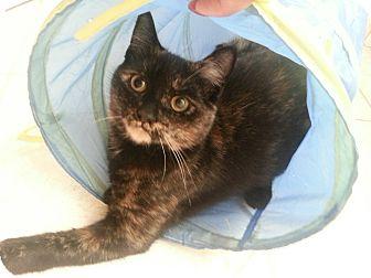 Domestic Shorthair Kitten for adoption in Toronto, Ontario - Anya