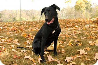 Labrador Retriever Mix Puppy for adoption in Norfolk, Virginia - BELLA BURGUNDY