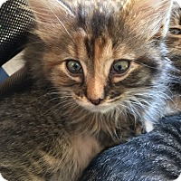 Adopt A Pet :: Munchkin - Middleton, WI