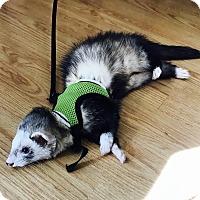 Adopt A Pet :: Rocko - Aurora, IL