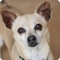 Chihuahua Mix Dog for adoption in Kyle, Texas - SCOOTER