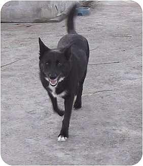 Labrador Retriever/Terrier (Unknown Type, Medium) Mix Dog for adoption in Key Biscayne, Florida - Amanda