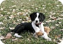 Border Collie/Beagle Mix Puppy for adoption in Alliance, Nebraska - Telly