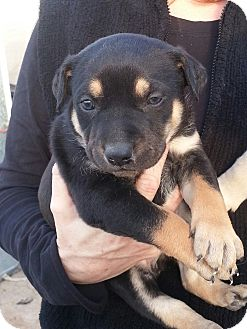 Australian Shepherd/German Shepherd Dog Mix Puppy for adoption in Phoenix, Arizona - Peter