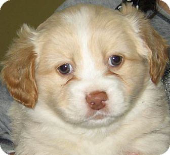 Shih Tzu/Poodle (Miniature) Mix Puppy for adoption in Thousand Oaks, California - Bear