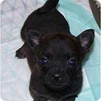 Adopt A Pet :: Runt - San Angelo, TX
