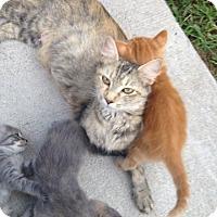 Adopt A Pet :: Mrs. Weasley - Bentonville, AR