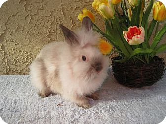 Lionhead Mix for adoption in Bonita, California - Puff and Fluff