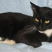 Domestic Shorthair Cat for adoption in Fort Walton Beach, Florida - Natalie