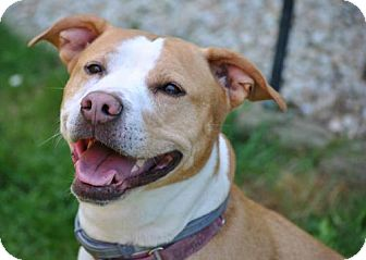 Hound (Unknown Type)/Pit Bull Terrier Mix Dog for adoption in Spring Lake, New Jersey - Princess