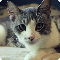 Adopt A Pet :: Gray - Manhattan, KS