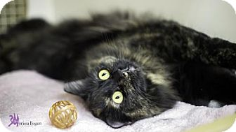Domestic Longhair Cat for adoption in Richardson, Texas - Sofie-13226