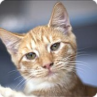 Adopt A Pet :: Joe (at Pet Food Express) - Napa, CA