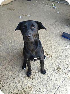 Labrador Retriever Mix Dog for adoption in Houston, Texas - Corbin