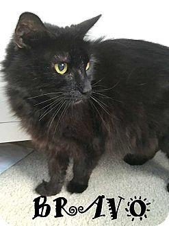 Domestic Mediumhair Cat for adoption in Mooresville, North Carolina - BRAVO