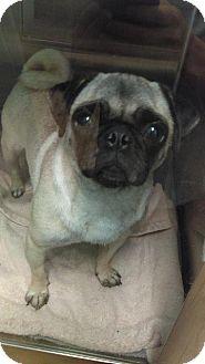 Pug Dog for adoption in Gardena, California - Alice