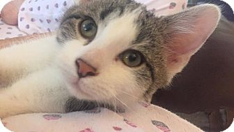 Domestic Shorthair Kitten for adoption in Wichita, Kansas - Walter