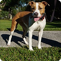 American Staffordshire Terrier/American Bulldog Mix Dog for adoption in Ft. Myers, Florida - Elsa