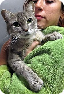 Domestic Shorthair Cat for adoption in Brooklyn, New York - Harmony: Very Affectionate, Lover Lost Her Tai