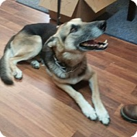 German Shepherd Dog Dog for adoption in Ardmore, Oklahoma - Bourbon