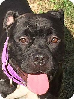 Boxer/American Bulldog Mix Dog for adoption in Bolingbrook, Illinois - PRINCESS - PENDING