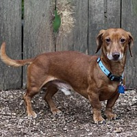Dachshund Dog for adoption in Pearland, Texas - Pilgrim Pete